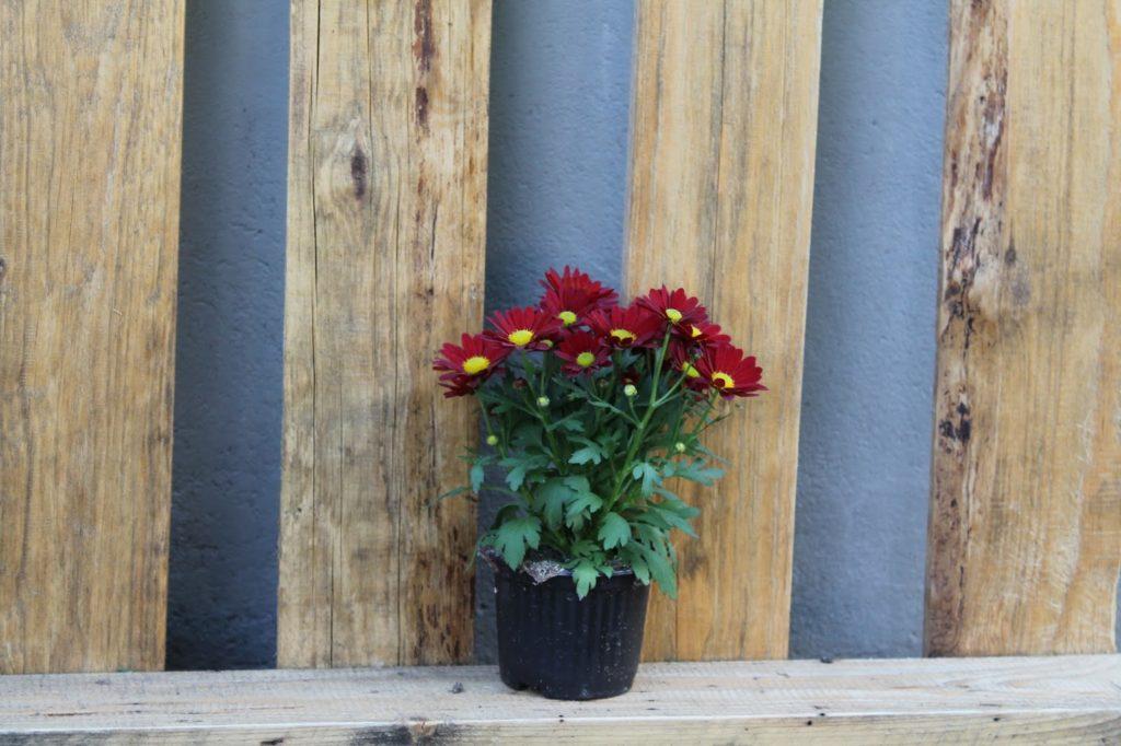 rote balkonblumen vor euro palette