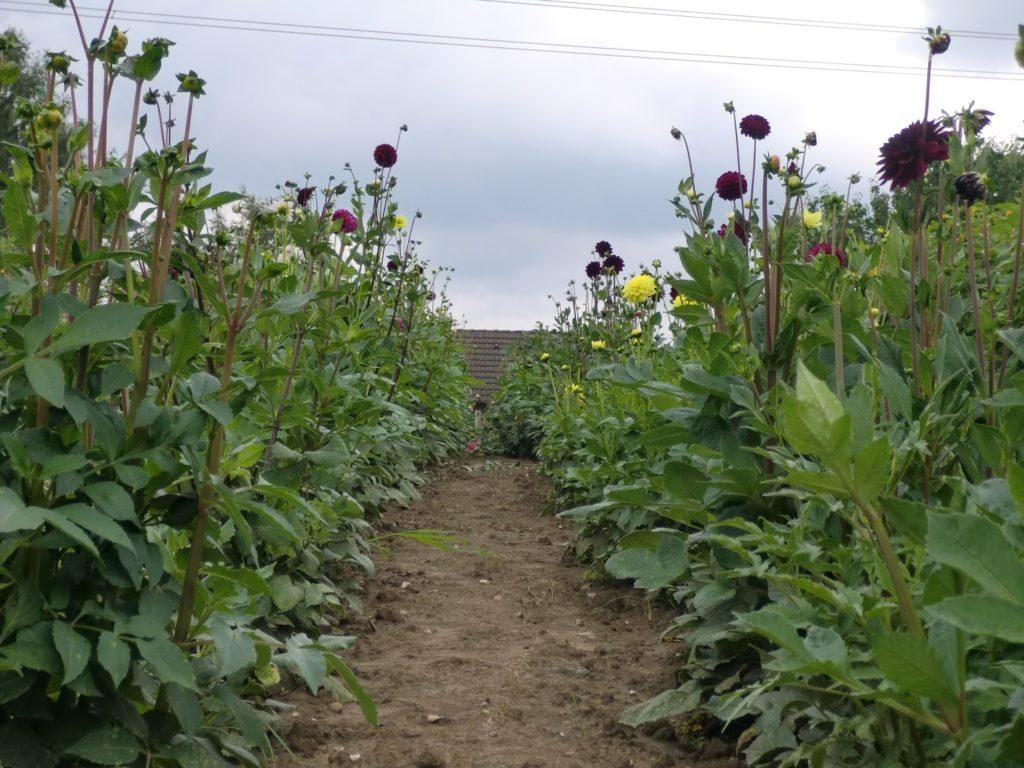 Blumenfeld Dahlien