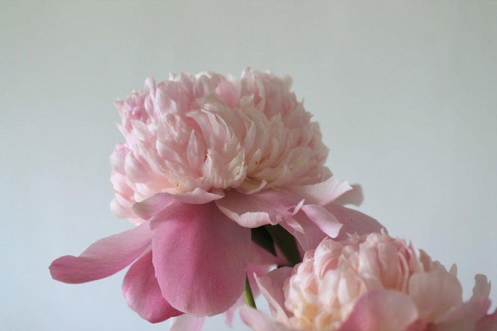 Pfingstrose peonie blossom