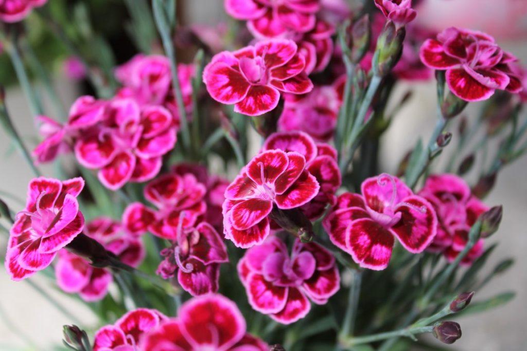 Gartennelken Pretty Pink Jules kleines Freudenhaus