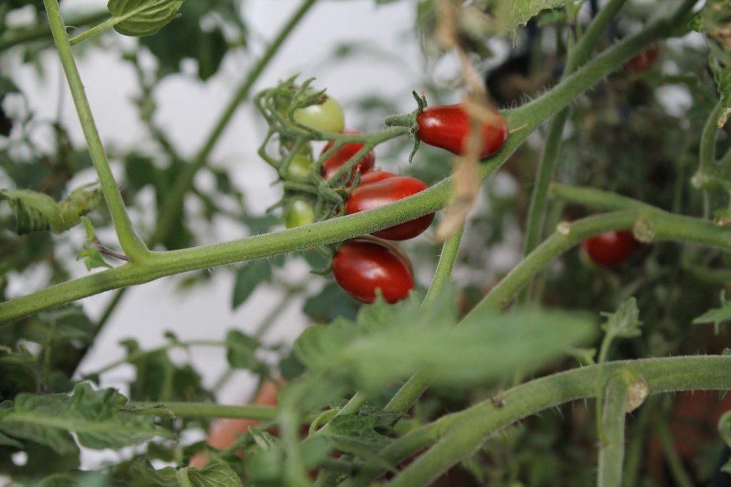 Eigene Tomaten im Garten Sommergefuehle sammeln Jules kleines Freudenhaus