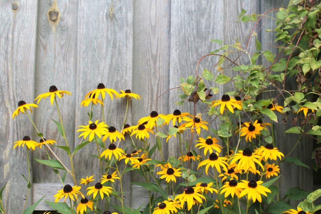 Sommergefuehle sammeln Maedchenauge Garten Blumen Jules kleines Freudenhaus